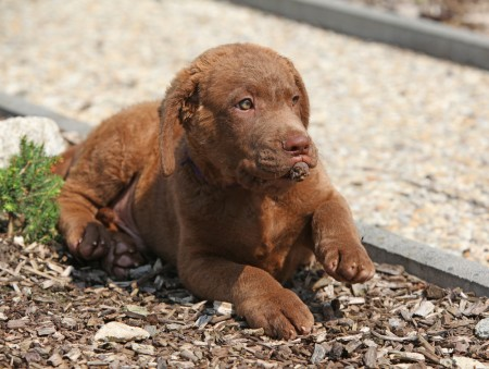 Nice chesapeake bay retriever puppy lying