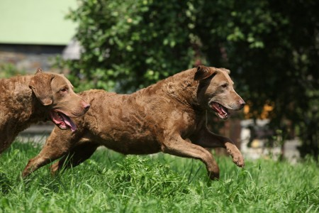 Chesapeake Bay Retrievers running in the garden