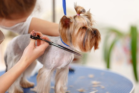Dog getting trimmed