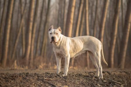 Dogo Argentino forest portrait