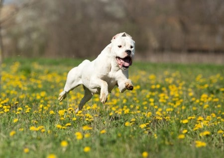 Dogo Argentino running in the field
