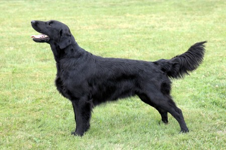 Black Flat Coated Retriever standing on grass