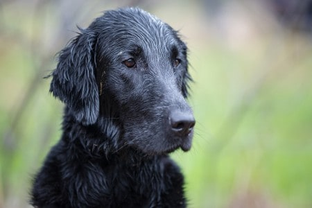 Portrait of dog breed Flat Coated Retriever