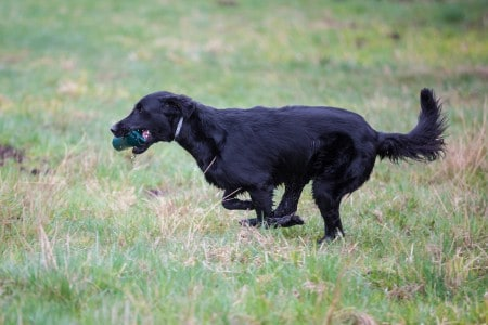 Dog on the run. Breed dog Flat Coated Retriever