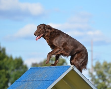 Flat-Coated Retriever at Dog Agility Trial