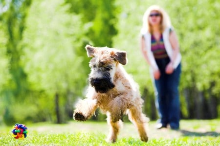 Irish soft coated wheaten terrier running on grass