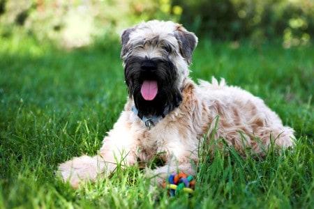 Irish soft coated wheaten terrier resting on grass