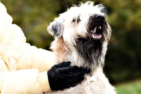 closeup of Irish soft coated wheaten terrier