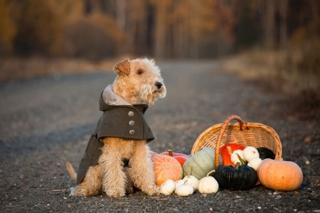 Lakeland Terrier dog in a trendy coat sits on a road in a field with a basket of pumpkins in autumn