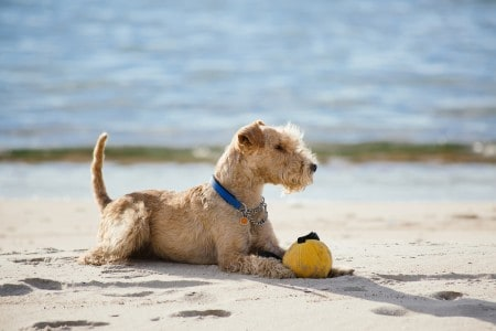 Dog lying on the beach with a yellow ball