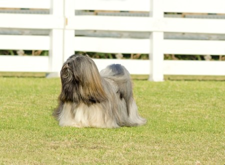 Lhasa Apso dog standing on grass