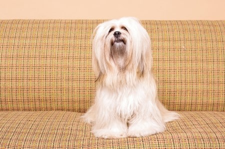 Lhasa Apso dog sitting on sofa