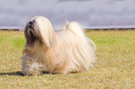 Lhasa Apso standing on grass