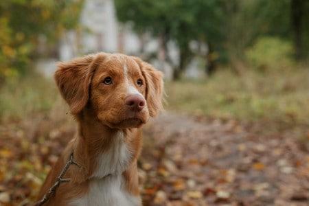 Dog breed Nova Scotia Duck Tolling Retriever close-up