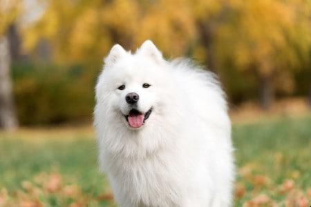 Smiling happy Samoyed dog