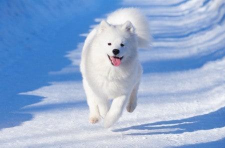 Samoyed dog running on ice