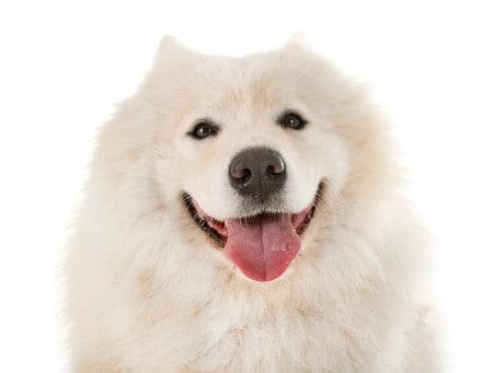 Samoyed dog in studio