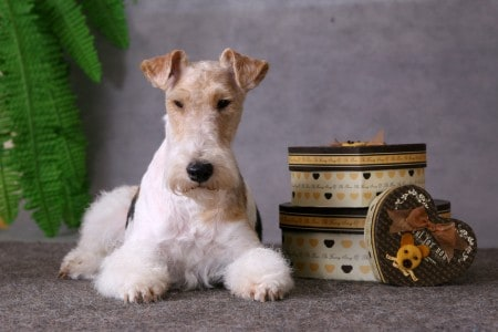 Wire Fox Terrier with gift boxes