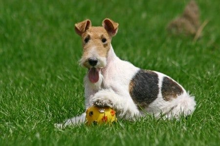 Wire Fox Terrier and a ball