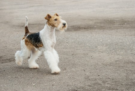 young Wire Fox Terrier
