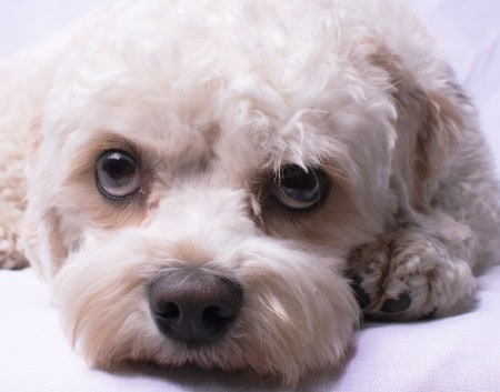 close-up photo of a cavapoo