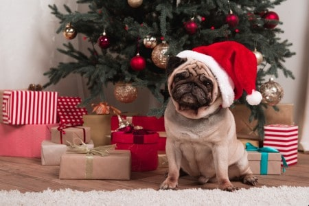 Pug wearing a Christmas hat