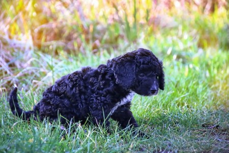 Cockapoo puppy playing in the grass