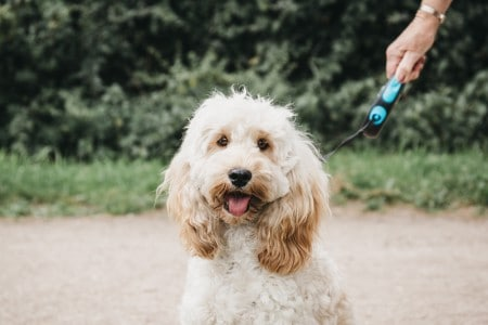 Happy Cockapoo puppy on a leash sitting and looking at the camera during walk in the park