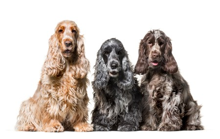 Group Cocker Spaniel dogs, sitting against white background