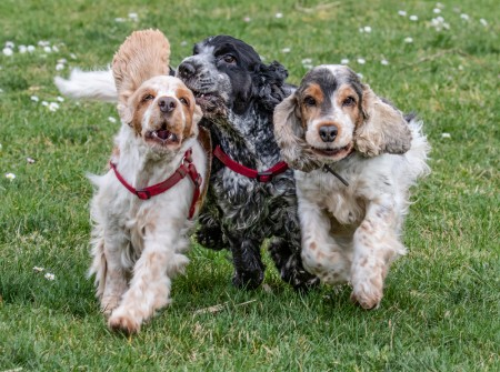 Three Cocker Spaniels race across a meadow in spring. Close up.