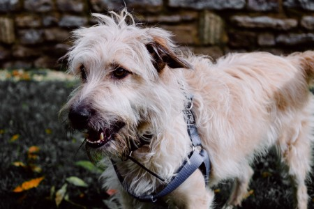 A closeup shot of glen of imaal terrier with harness standing on green grass