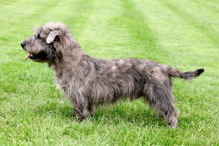 Imaal Terrier on a green grass lawn