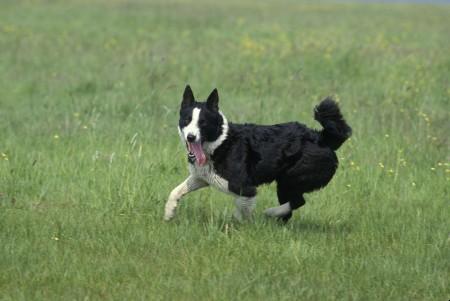 Karelian Bear Dog running