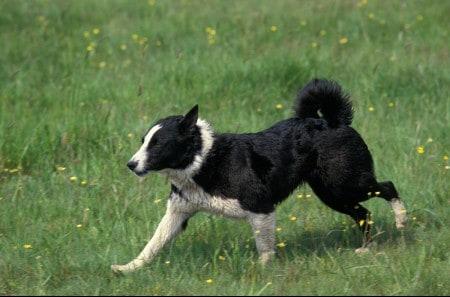 Karelian Bear Dog standing on the grass