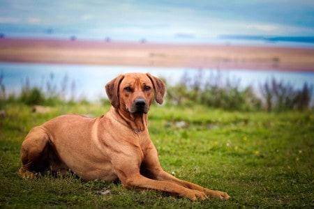 Dog breed Rhodesian Ridgeback resting on grass
