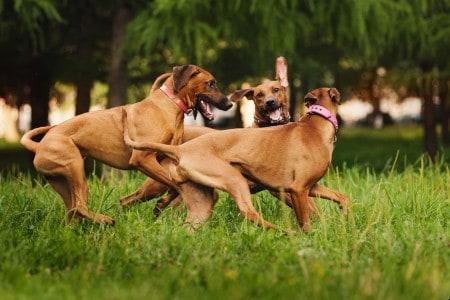 Three rhodesian ridgeback dogs playing outdoor