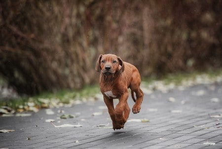 Rhodesian Ridgeback running outdoor
