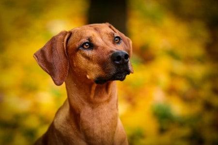 Closeup of Rhodesian Ridgeback dog