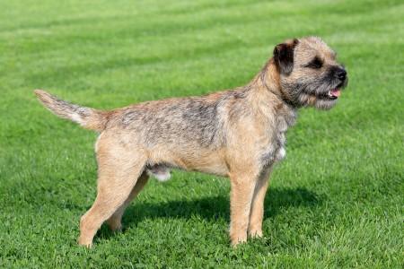 Border terrier on a green grass lawn