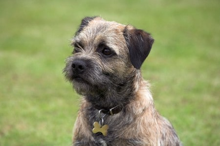 Close-up of a border terrier on a green grass lawn