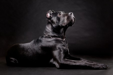 studio shot of a cane corso dog