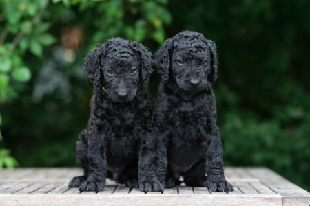 Black curly coated retriever puppies posing outdoors
