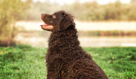 A selective focus shot of an adorable curly-coated retriever