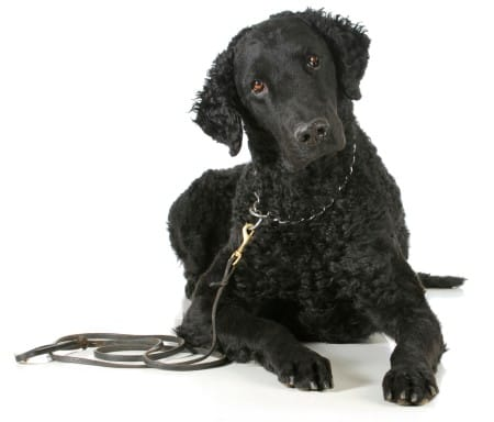 Curly coated retriever against white background