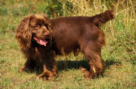 Sussex Spaniel Dog on grass