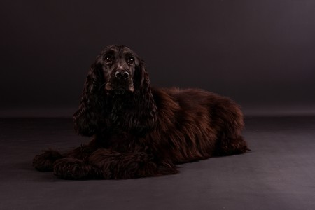 Sussex spaniel dog on gray background