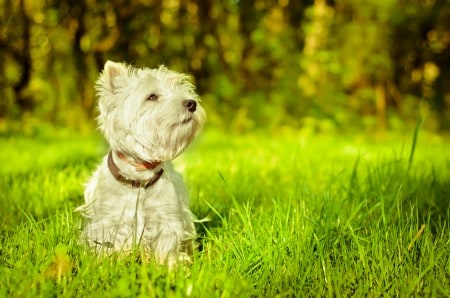 West highland terrier resting on grass