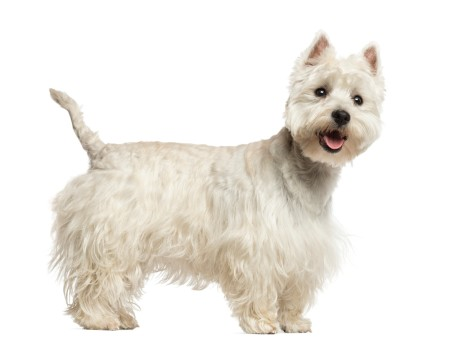 Side view of a West Highland White Terrier panting