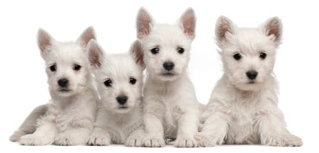 Four West Highland Terrier puppies