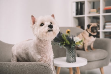 West highland white terrier sitting on the couch